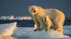 Urso polar observa derretimento das calotas polares devido às mudanças climáticas